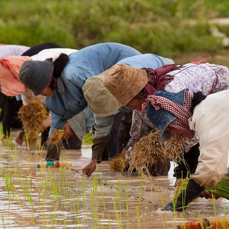 photo from https://en.wikipedia.org/wiki/Agriculture_in_Cambodia#/media/File:Cambodian_farmers_planting_rice.jpg
