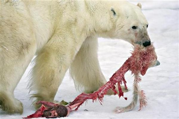 A male polar bear drags the remains of a polar bear cub it killed and cannibalized in an area about 300km (186 miles) north of the Canadian town of Churchill November 20, 2009.  Credit: REUTERS/Iain D. Williams
