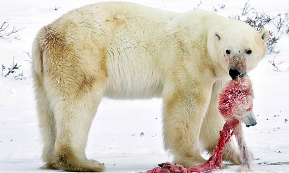 Polar bear cannibalism