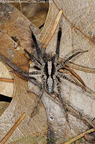 http://bugguide.net/node/view/275475/bgimage (accessed on 28 March 2010)