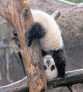 panda doing handstand2