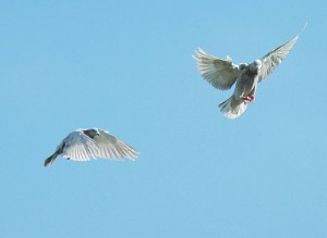 homing pigeons in a pair