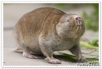 The Blind Mole Rat