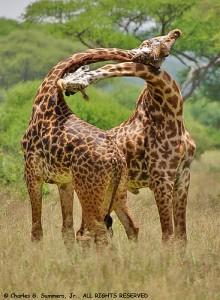 """Giraffes do """"win by a neck"""""""