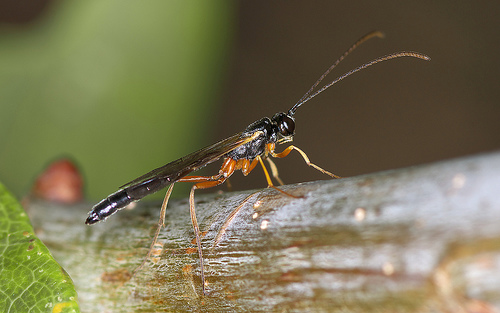 A species of ichneumon wasp