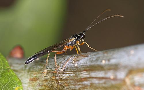 A species of ichneumon wasp