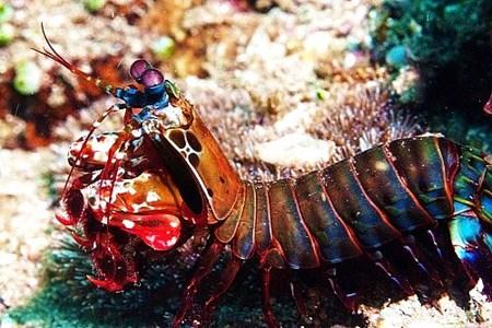 Fig. 1 - Peacock Mantis Shrimp (odontodactylus scyllarus)