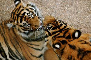 Tigers kissing