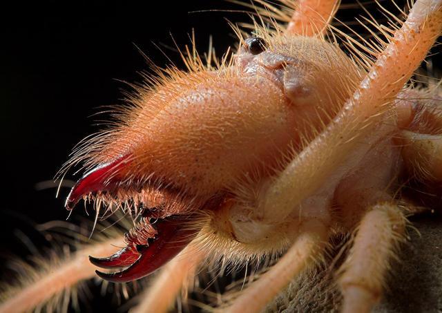 Camel Spider Jaws