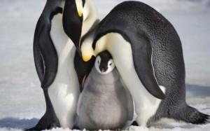 Emperor-Penguins_1212011c