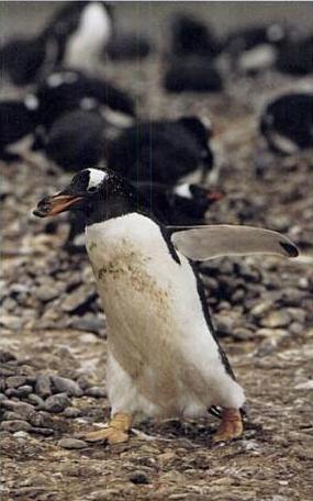 Gentoo penguin with pebble