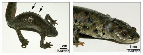 Defensive behaviour of Iberian ribbed newt.