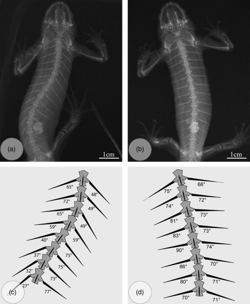 Radiograph showing anterior rotation of ribs from before (a) to after (b) a mildly threatening stimulus of the same animal. (c,d) Schematic drawings of 8 vertebrae (numbers 4-11) with corresponding ribs, pointing to the differences in rib angle relative to the sagittal body axis before (c) and after (d) stimulus.
