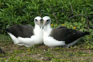 A female-female pair of Laysan albatross. Photo by Eric A. Vanderwerf.