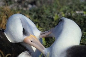 Young-albatross-female-couple-02