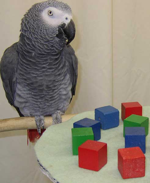 Alex the African Grey Parrot!