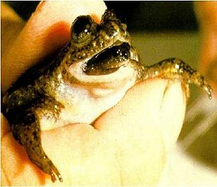 Figure 1: A tiny froglet emerging from its mother's mouth