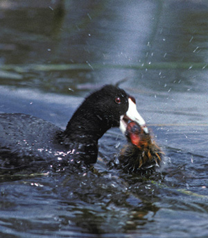 An adult coot can recognize its own chicks and will attack a parasitic chick that hatches in its nest. Photo by B. Lyon.