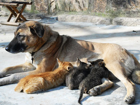 Dog adopts a litter of kittens