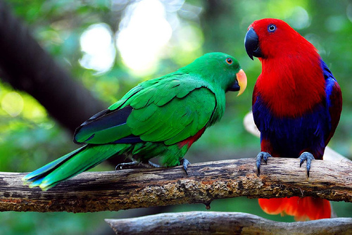 Male (left) and female (right) eclectus parrots perched on branch.