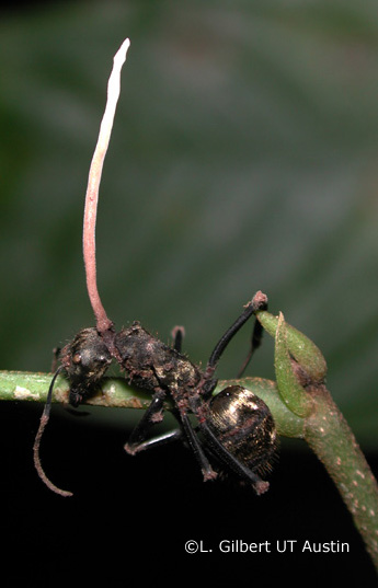 Sprouting Cordyceps