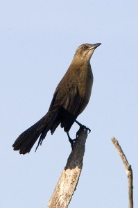 Great-tailed Grackle (Quiscalus mexicanus), Female
