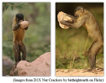 In the wild - the Capuchin using a hammer and an anvil to crack open nuts.