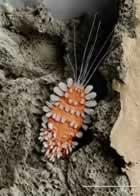 Histiostoma Murchiei