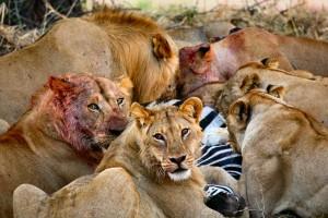 lionsfeeding