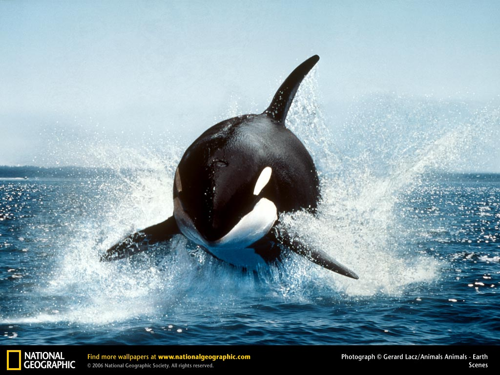 Killer killer whales blogging about animal behaviour 2010 first tilly was a wild orca captured near iceland in 1983 in the wild orcas can travel up to 160km per day and occur in all the oceans and most seas altavistaventures Images