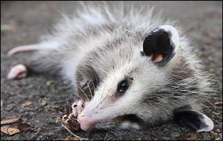 playing-possum