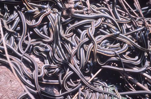 redgarter-snake-mating-ball