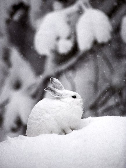 Snowshoe Hare: Lepus Americanus. Photograph taken by Michael S. Quinton for the National Geographic Society