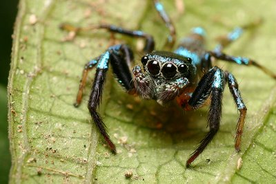 Closeup view of  a male fighting spider