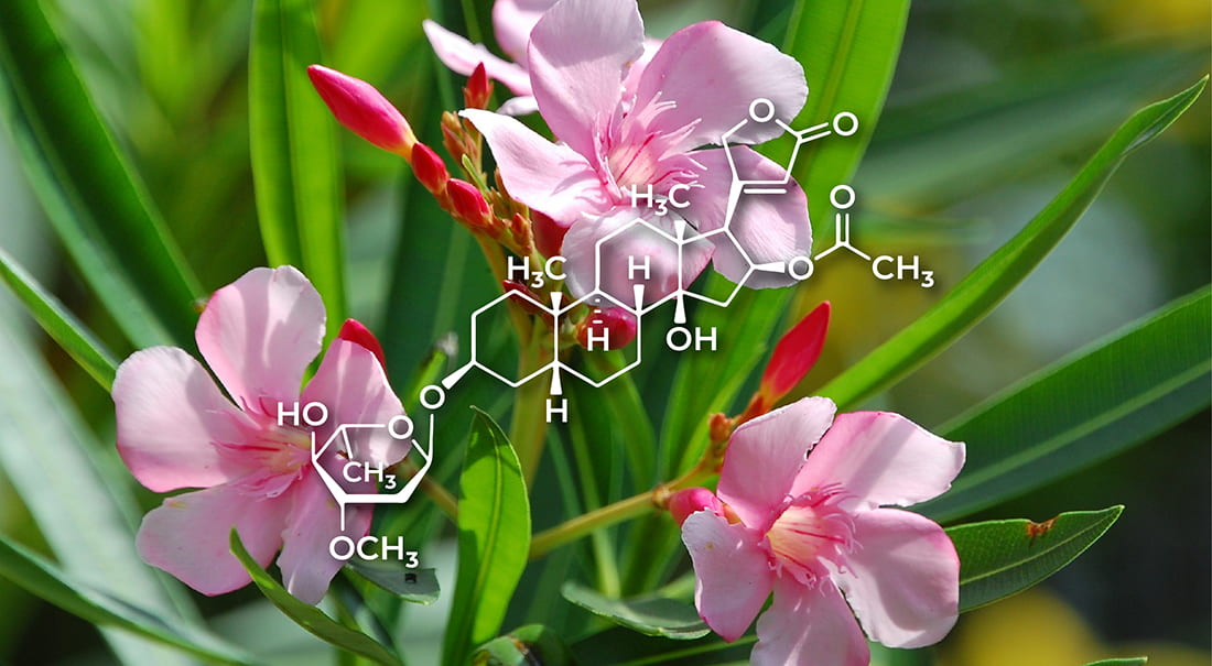A drug derived from oleander shows promise in stemming spread of HIV-related virus.