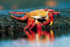 Sally Light Foot crab, Galapagos