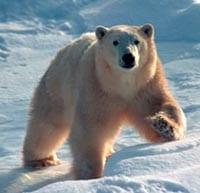 polar-bear-200.jpg