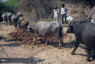 Metin Eren's site-trampling research - water buffalo in Jurreru Valley, India