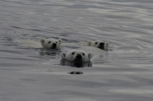Polar bears swimming directly towards our ship! This was truly an incredible sight.