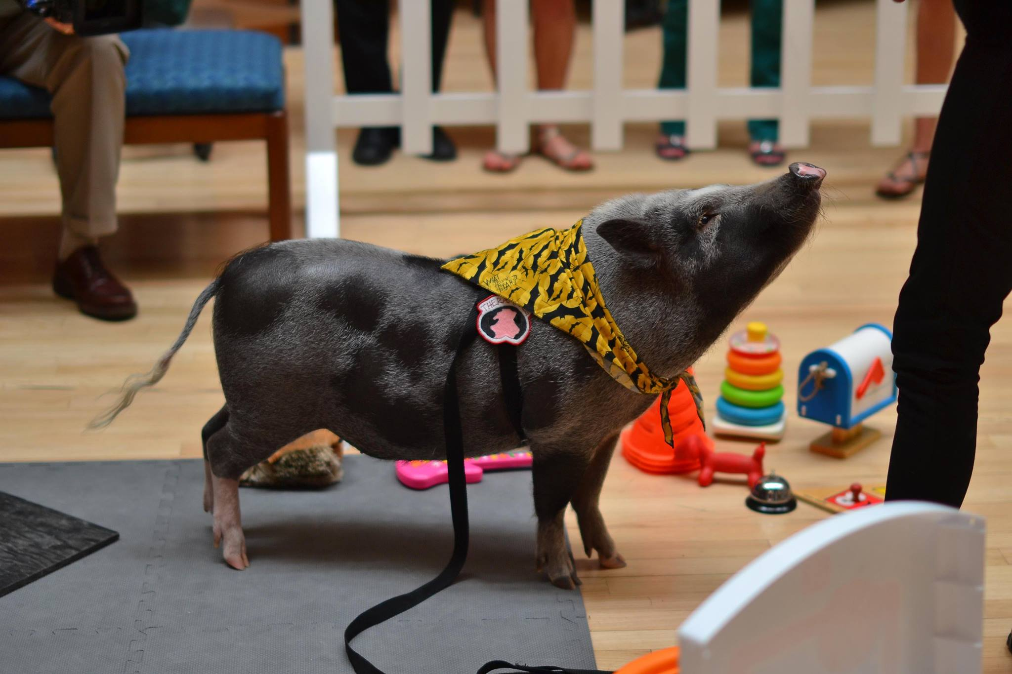 Norman, the Therapy Pig, assuages stress at the Hamon Arts Library. (Photo by Rueben Gonzales(