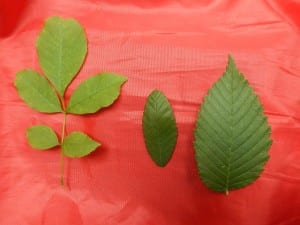 Left: Ash leaf (Fraxinus) Middle: Winged elm (Ulmus alata) Right: Slippery elm (Ulmus rubra)