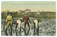 Planting Time on a Japanese Rice Farm Near Houston, Texas, ca. 1903, DeGolyer Library, SMU.