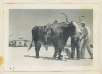 [Steer with Saddle], ca. 1930s-1940s, Bywaters Special Collections, SMU.