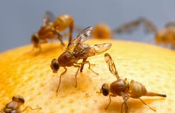 Johannes Bauer, organic diet, fruit flies, SMU