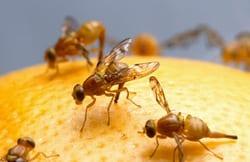 Johannes Bauer, organic diet, fruit flies, SMU