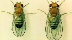 Sydney Herald, Bauer, Chhabra, SMU, fruit flies, organic