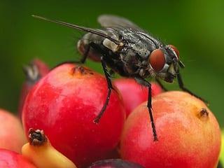 Bauer, fruit fly, organic diet, Chhabra, SMU