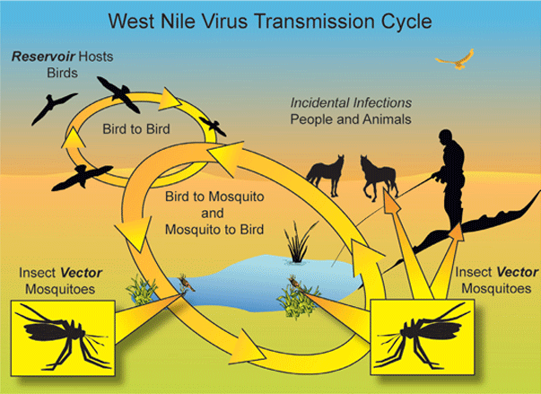 the features of west nile encephalitus West nile virus caused 2942 cases of meningitis or encephalitis in 2002, with 276 deaths, and 2866 cases in 2003, with 246 deaths1,2 west nile virus, which in the united states was first detected.