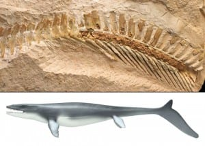 The first mosasaur tail on record with a preserved soft tissue outline (top picture). In similarity with whales and ichthyosaurs, Mosasaurs gradually attained a shark-like appearance (bottom picture) Image courtesy NatGeo.