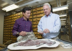 Paleontologists Louis Jacobs, SMU, and Anthony Fiorillo, Perot Museum, have identified a new species of marine mammal from bones recovered from Unalaska, a North Pacific Aleutian island. (Hillsman Jackson, SMU)